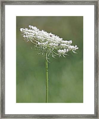 Queen Anne's Lace Wild Flower Framed Print by Jennie Marie Schell