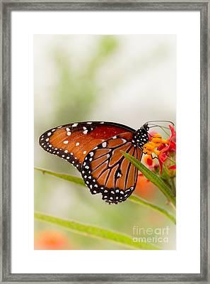 Queen Butterfly Framed Print by Ana V  Ramirez