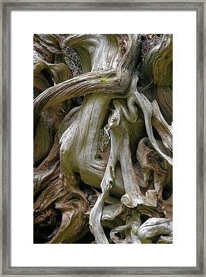 Quinault Valley Olympic Peninsula Wa - Exposed Root Structure Of A Giant Tree Framed Print by Christine Till