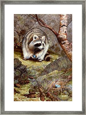 Raccoon Found Treasure  Framed Print by Frank Wilson