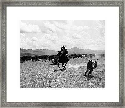 Raguero Cutting Out A Cow From The Herd Framed Print by Raguero cutting out a cow from the herd