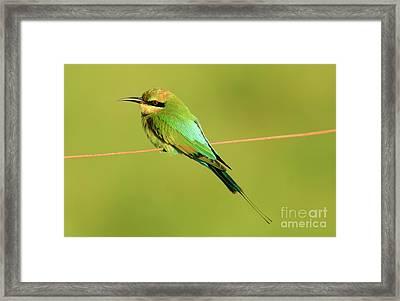 Rainbow Bee-eater, Merops Ornatus, Queensland, Australia Framed Print by Genevieve Vallee