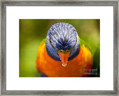 Rainbow Lorikeet Framed Print by Avalon Fine Art Photography