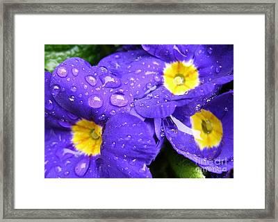 Raindrops On Blue Flowers Framed Print by Carol Groenen