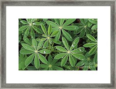 Raindrops On Lupine Framed Print by Greg Vaughn - Printscapes