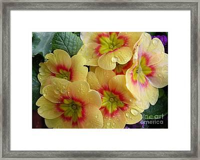 Raindrops On Yellow Flowers Framed Print by Carol Groenen