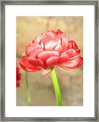 Ranunculus Framed Print by Rosita Larsson