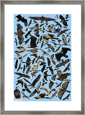 Raptor Roundup Framed Print by ML Lombard