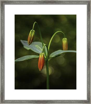 Rare Anticipation - Gray's Lily Roan Mountain Highlands Appalachian Trail Framed Print by Johan Hakansson