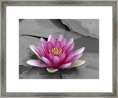 Rare Red-white Water Lily Framed Print by Eddie Yong