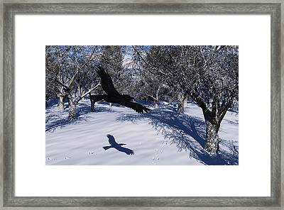 Raven Tracking Framed Print by Diana Morningstar