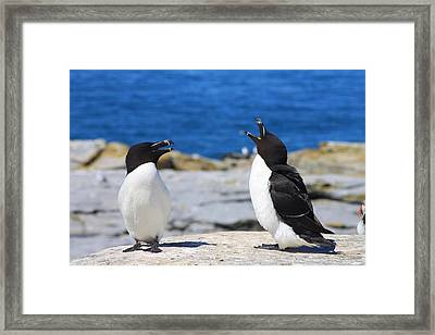 Razorbills Calling On Island Framed Print by John Burk