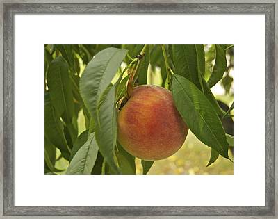 Ready For Picking 2904 Framed Print by Michael Peychich