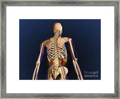 Rear View Of Human Skeleton Showing Framed Print by Stocktrek Images