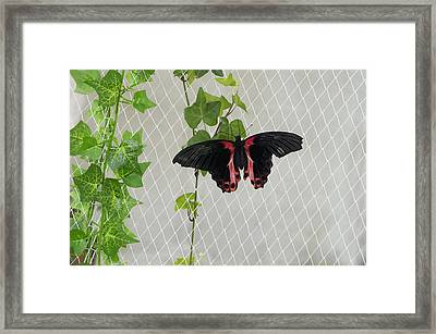 Papilio Rumanzovia Butterfly Framed Print by Art Spectrum
