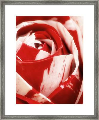 Red And White Rose Framed Print by Wim Lanclus