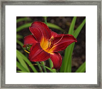 Red And Yellow Daylily Framed Print by Sandy Keeton