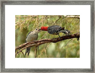 Red Bellied Woodpeck Feeding Young Framed Print by Alan Lenk