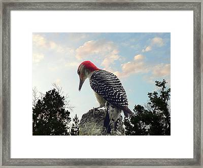 Red-bellied Woodpecker - Tree Top Framed Print by Al Powell Photography USA