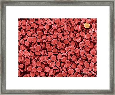 Red Blood Cells, Sem Framed Print by Scimat