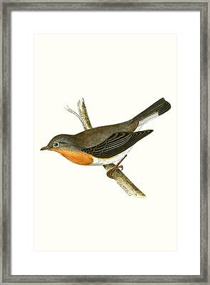 Red Breasted Flycatcher Framed Print by English School