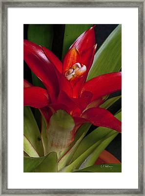 Red Bromiliad Framed Print by Christopher Holmes