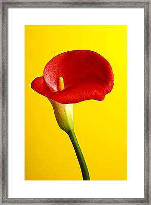 Red Calla Lilly  Framed Print by Garry Gay