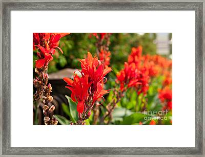Red Canna Lily Flowering Framed Print by Arletta Cwalina