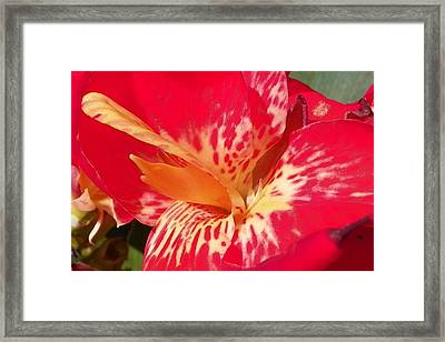 Red Canna Lily Framed Print by Sheri McLeroy