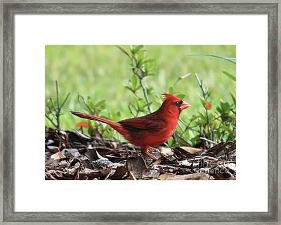 Red Cardinal Framed Print by Carol Groenen