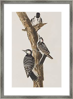 Red-cockaded Woodpecker Framed Print by John James Audubon