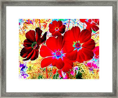 Red Cosmos Framed Print by Will Borden