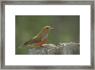 Red Crossbill Framed Print by Constance Puttkemery
