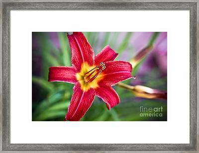 Red Daylily Framed Print by Ryan Kelly