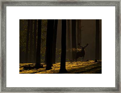 Red Deer In Golden Light Framed Print by Andy Luberti