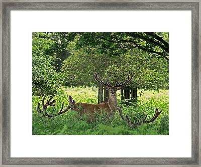 Red Deer Stag Framed Print by Rona Black