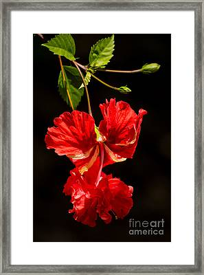 Red Double Hibiscus Framed Print by Zina Stromberg