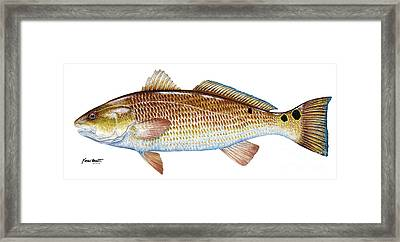 Red Drum  Redfish Framed Print by Kevin Brant