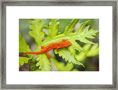 Red Eft Eastern Newt Framed Print by Christina Rollo