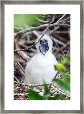 Red Footed Booby Chick Framed Print by Jess Kraft