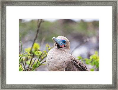 Red Footed Booby Closeup Framed Print by Jess Kraft