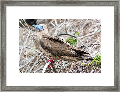 Red Footed Booby Framed Print by Jess Kraft