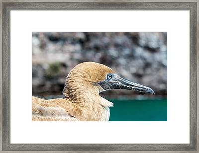 Red Footed Booby Juvenile Framed Print by Jess Kraft