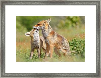 Red Fox Love Framed Print by Roeselien Raimond