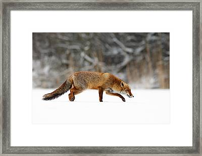 Red Fox Running Through A White World Framed Print by Roeselien Raimond