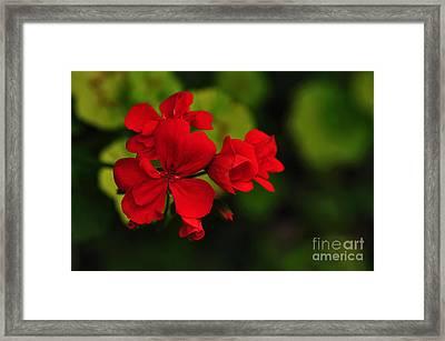 Red Geranium Framed Print by Kaye Menner