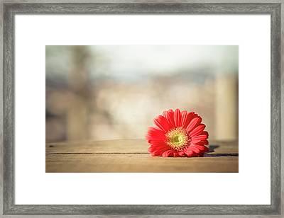 Red Gerbera Daisy Framed Print by Daniela Romanesi