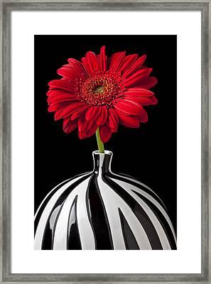 Red Gerbera Daisy Framed Print by Garry Gay