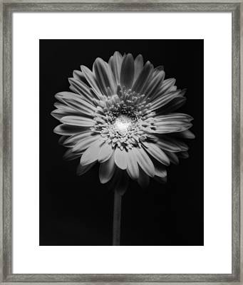 Red Gerbera In Black And White Framed Print by George Oze
