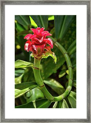 Red Ginger Vine Framed Print by Kelley King